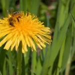 pszczoly_3